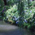 鶴が池のあじさい