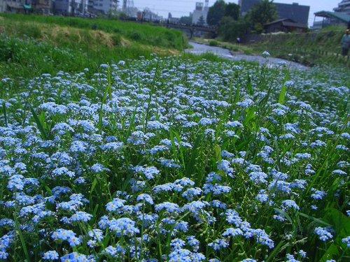 中津川の忘れな草