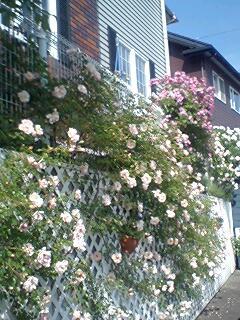 薔薇がいっぱい!