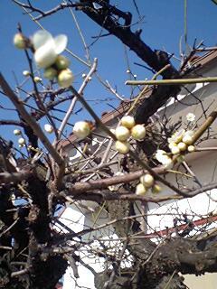 梅は咲いた〜